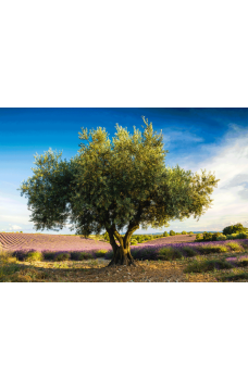 Пъзел Olive Tree in the Province - 1000
